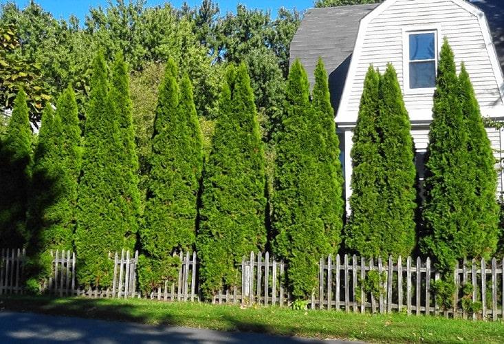 ต้นไม้ สำหรับปลูก เป็นรั้ว
